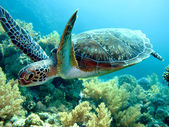 Photo Green sea turtle