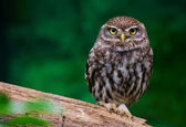 Photo burrowing owl