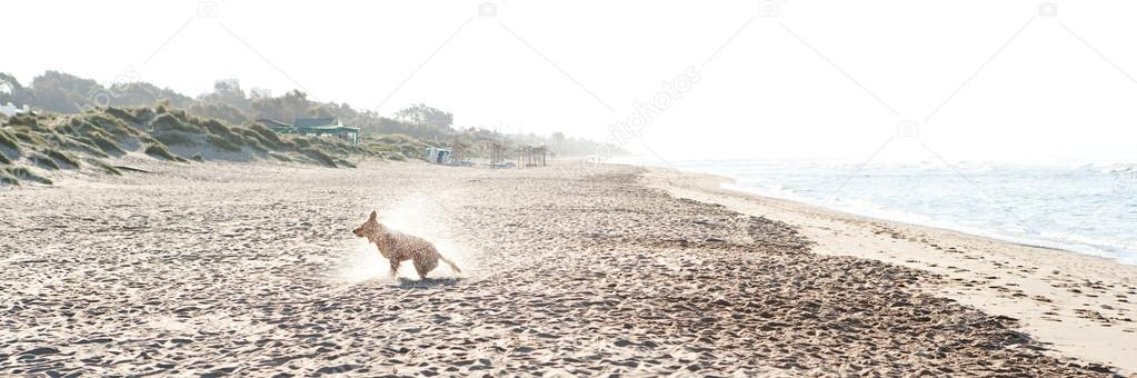 Golden retriever shaking off water on a wide sand beach after swimming in the sea during sunrise.