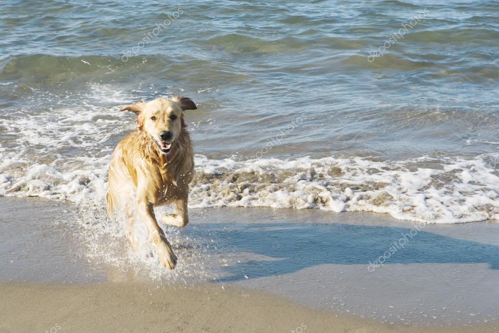 Golden retriever dog running out of the sea on a beach.