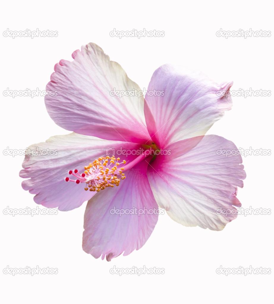 Pink Hibiscus Flower Stock Photo Manusy 32036717