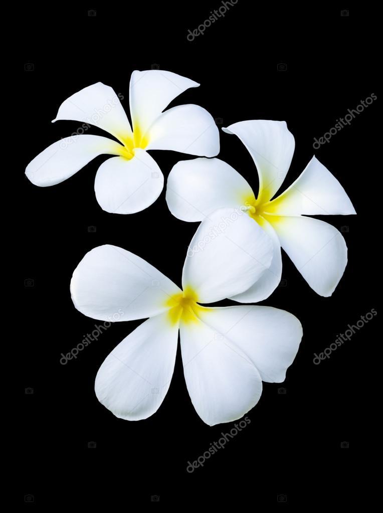 Three frangipani flowers