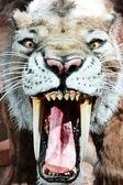 Fényképek töltött régi kardfogú tigris