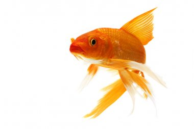 Golden koi fish isolated on white background. stock vector