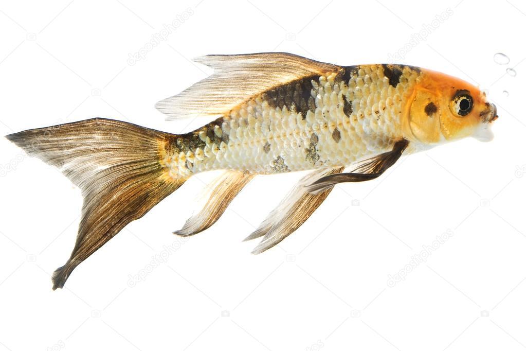 Butterfly Koi Fish Stock Photo C Fivespots 25764275
