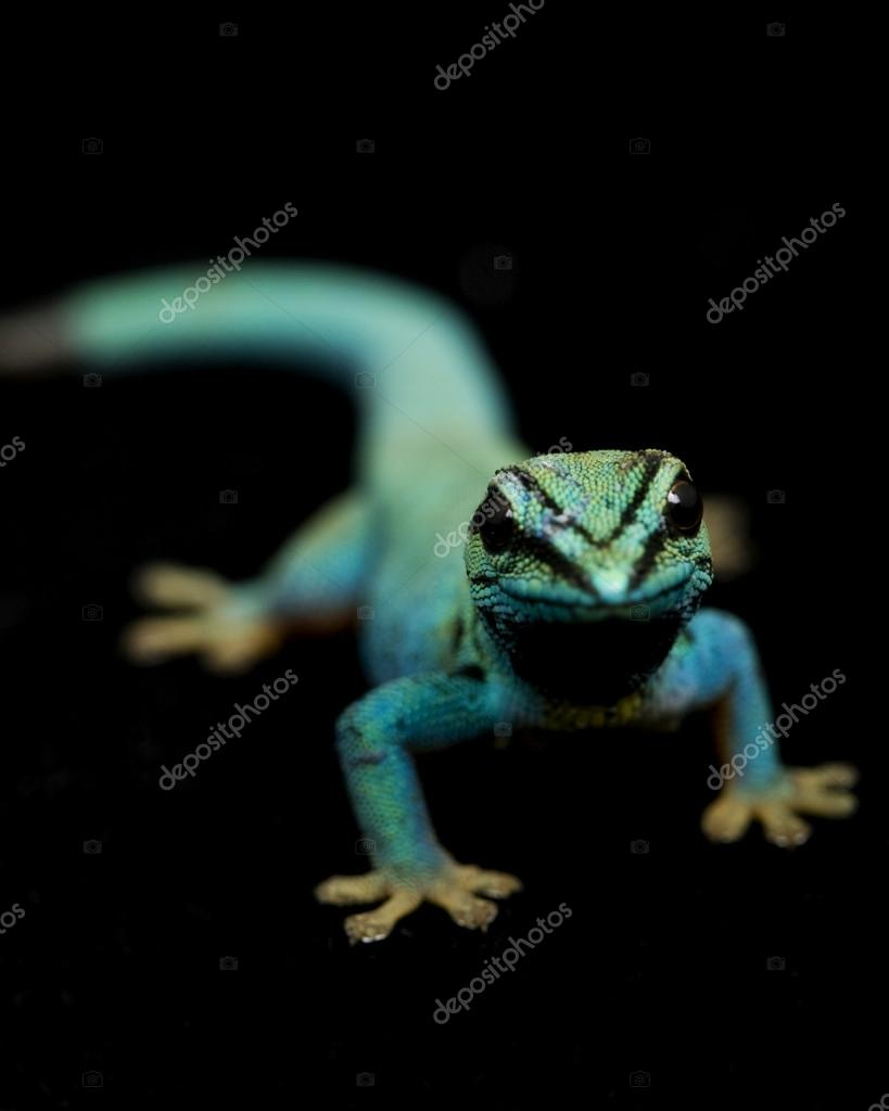 Electric Blue Day Geckos (Lycodactylus williamsi)
