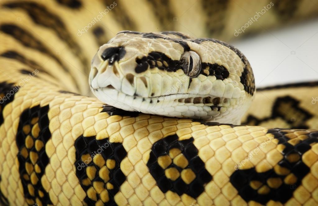 Jungle Jaguar Carpet Python — Stock Photo