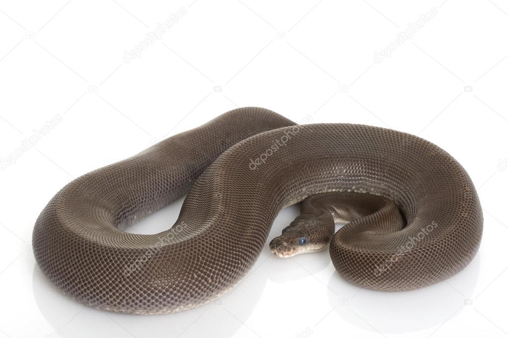 super cinnamon ball python
