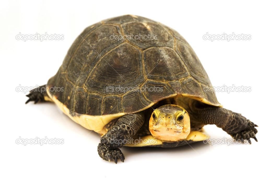Tartaruga scatola cinese foto stock fivespots 25849013 for Tartaruga prezzo