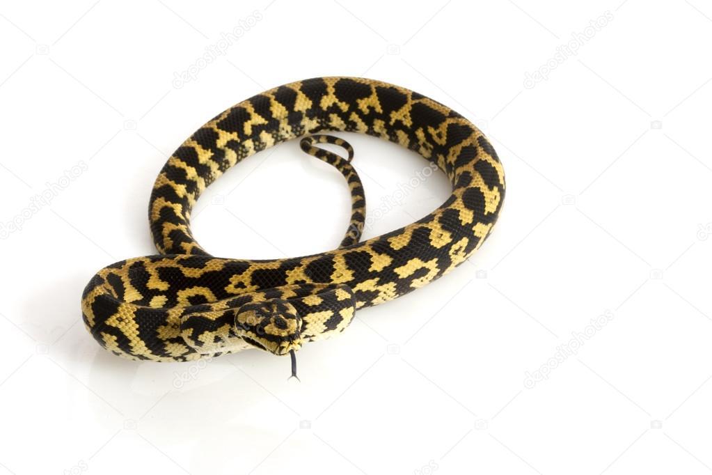 Dschungel Teppich python — Stockfoto © fivespots #25859919