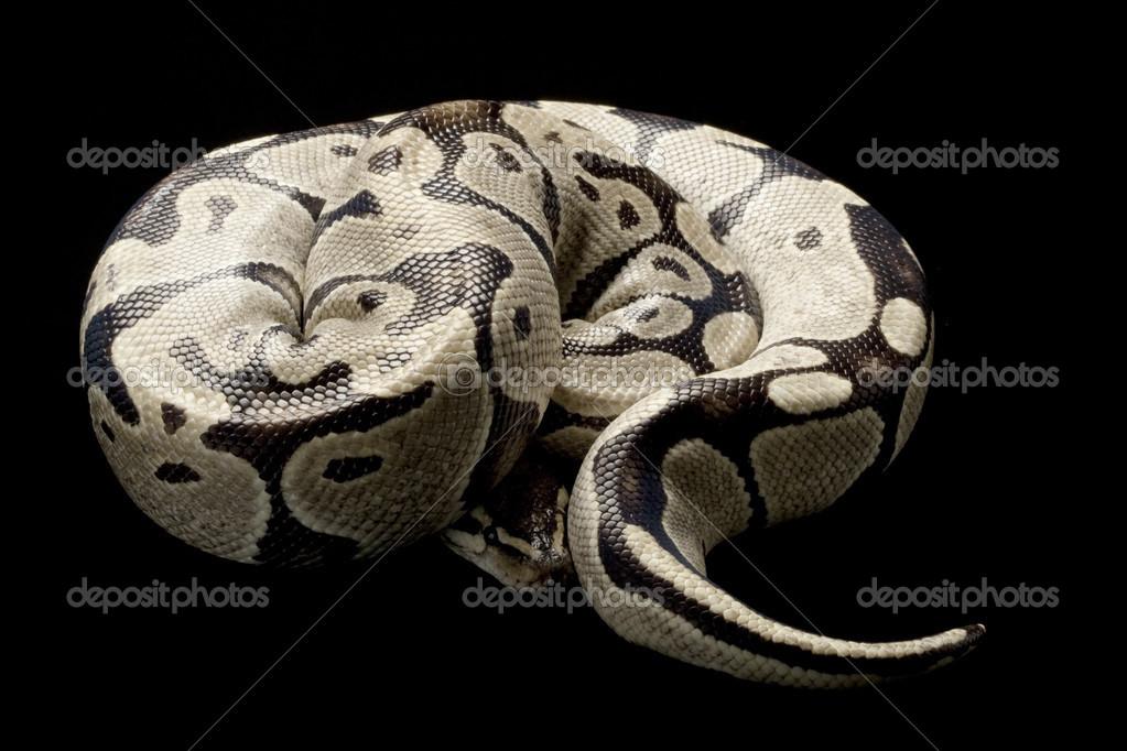 Desert Ghost Ball Python Stock Photo C Fivespots 25862323