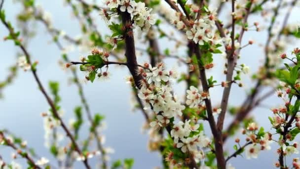 Super 35mm camera - Cherry tree flower blooming in spring