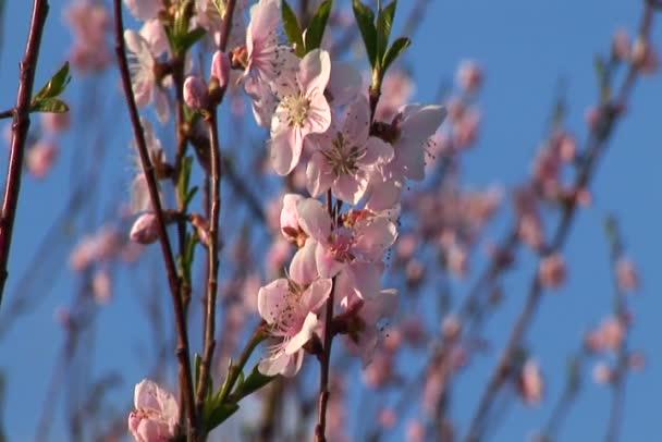 větrno třešňový květ v jarním období.