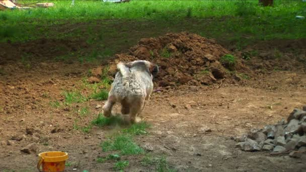 Tibetan terrier running after his rubber toy