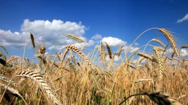 Wheat close-up with blue sky and white clouds