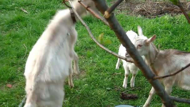 koza rodina hraje v poli