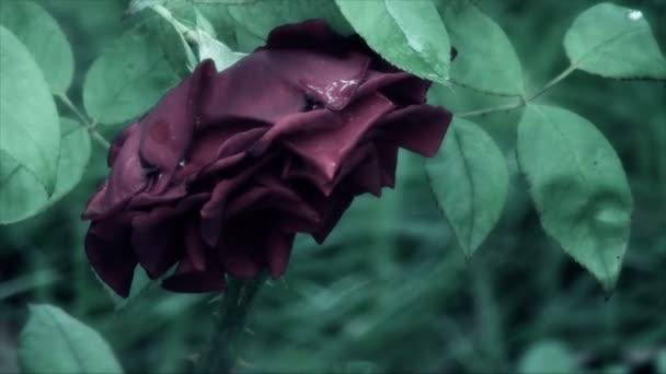 Dreamy, fairy tale rose