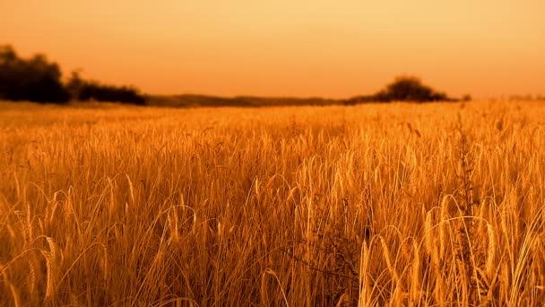 Golden, ripe, barley field (whole wheat)