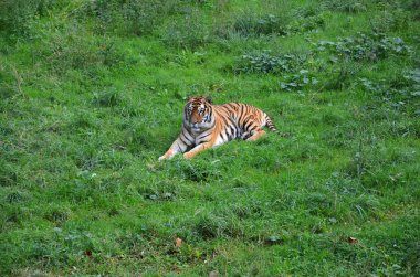 tiger on the grass of the park