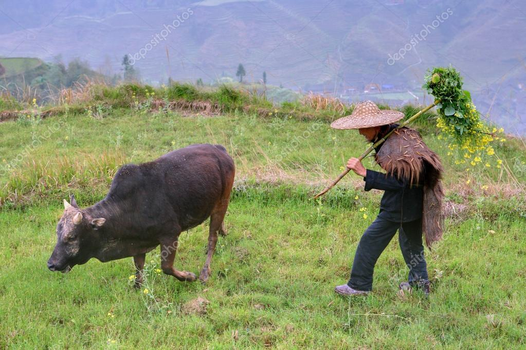 Shepherd in Chinese hat cow grazes mountainous area of China.