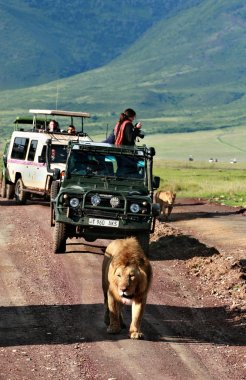 Jeeps to tourists, surrounded by wild pride of African lions.