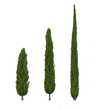 Three kinds of cypress tree on a white background stock vector