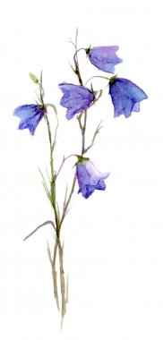 Drawing blue campanula