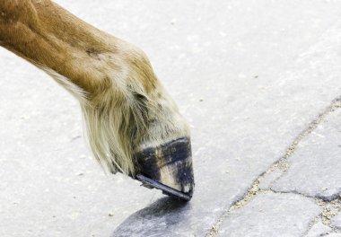 Horse foot hoof