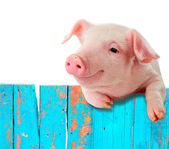 Photo Funny pig hanging on a fence. Humorous collage. Isolated on whit