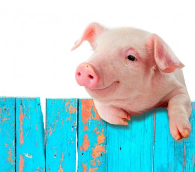 Funny pig hanging on a fence. Humorous collage. Isolated on whit