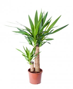 house plant in a pot. yucca