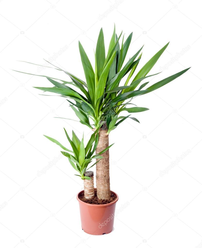 kamerplant in een pot yucca stockfoto yevgeniy111 39326125. Black Bedroom Furniture Sets. Home Design Ideas