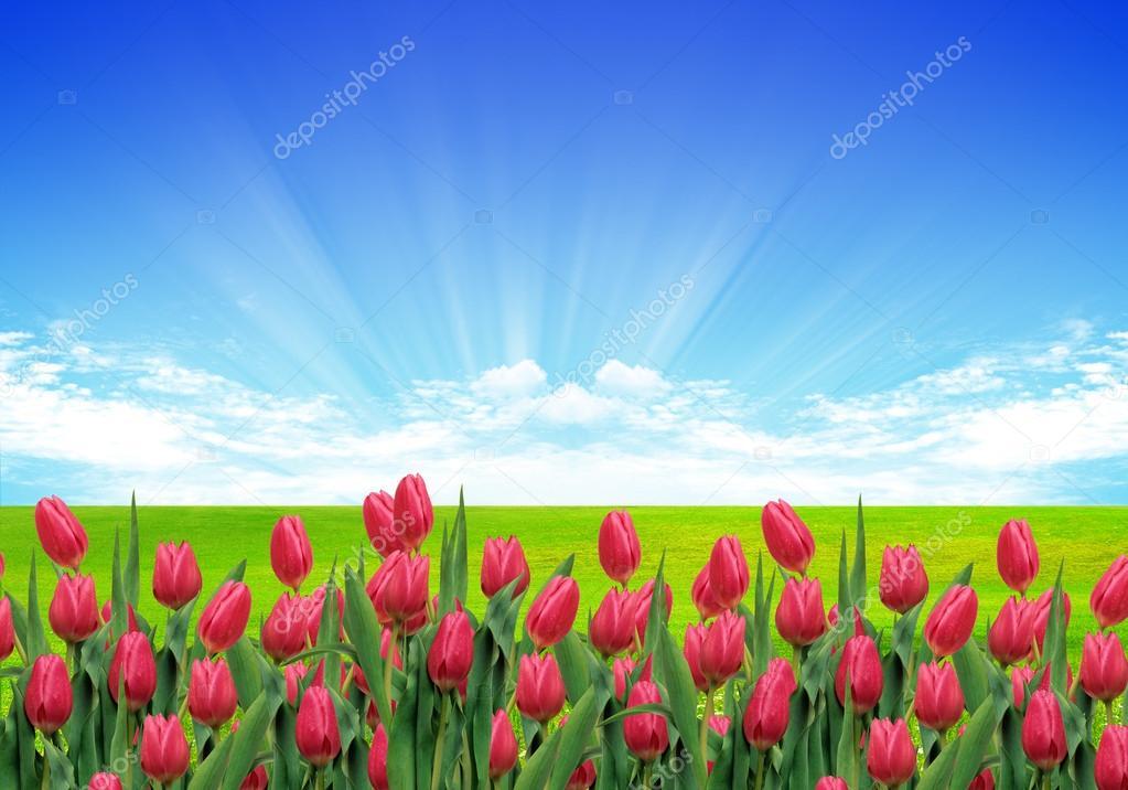 tulips in nature