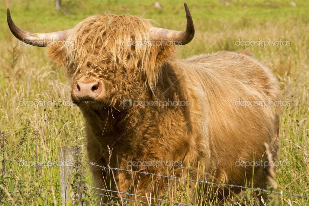 Scotland cow in Higlands
