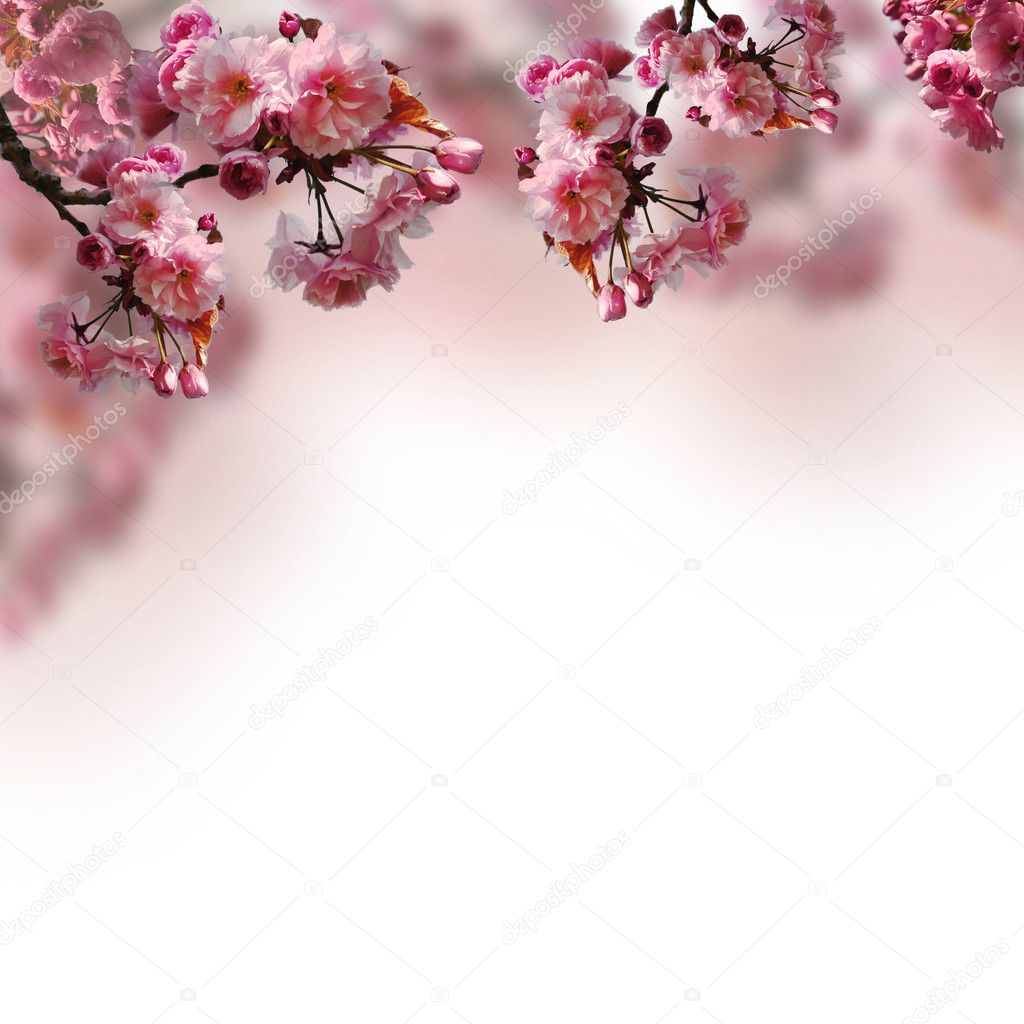 Blooming sakura