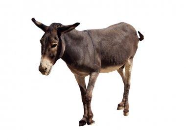 Isolated Donkey