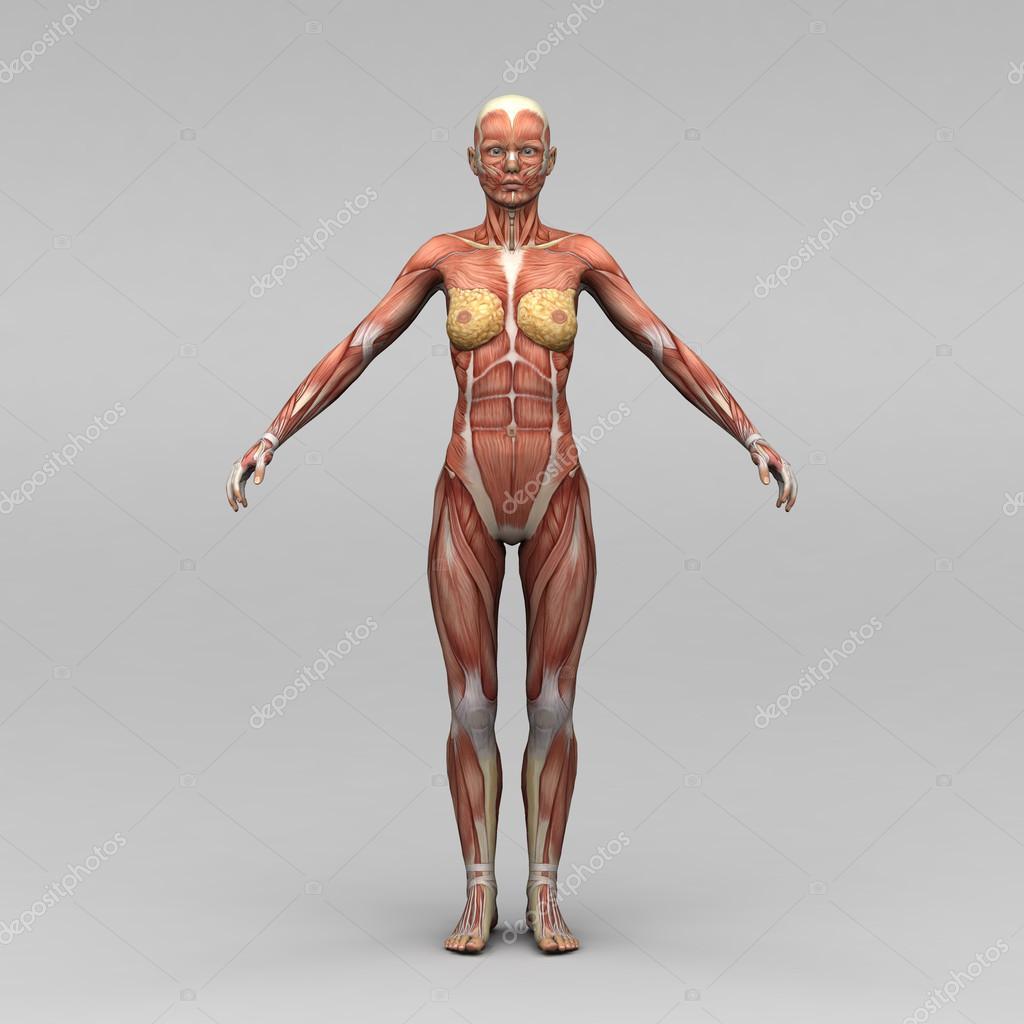 weibliche Anatomie und Muskeln — Stockfoto © newartgraphics #19869365