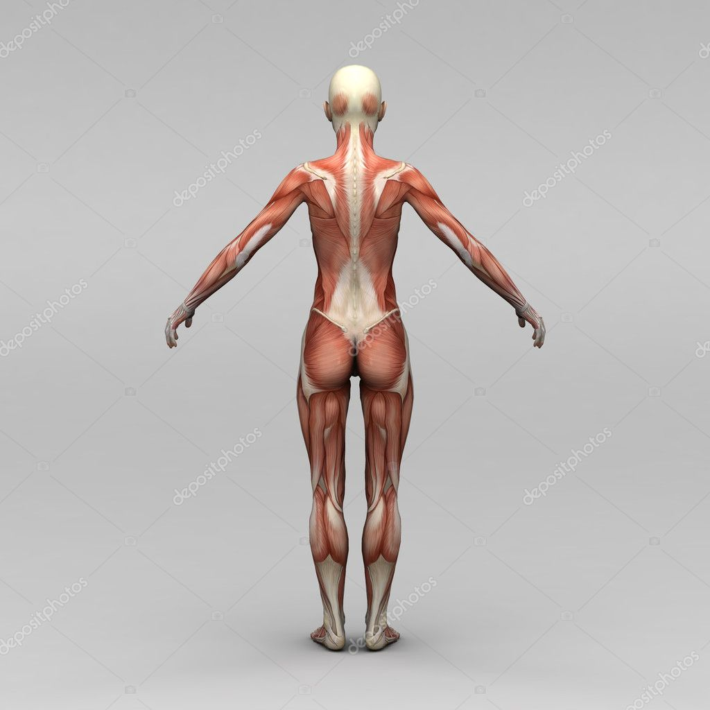 weibliche Anatomie und Muskeln — Stockfoto © newartgraphics #19869371