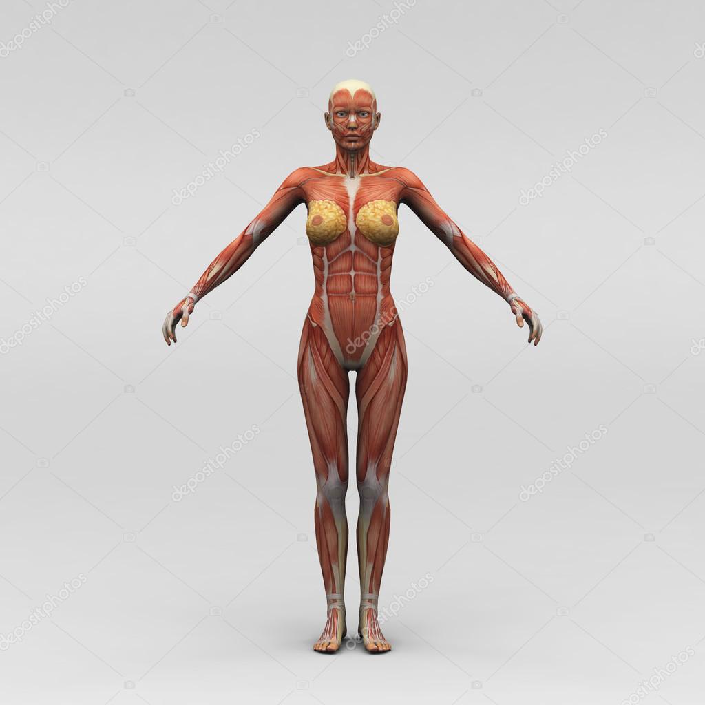 Female Human Anatomy And Muscles Stock Photo Newartgraphics
