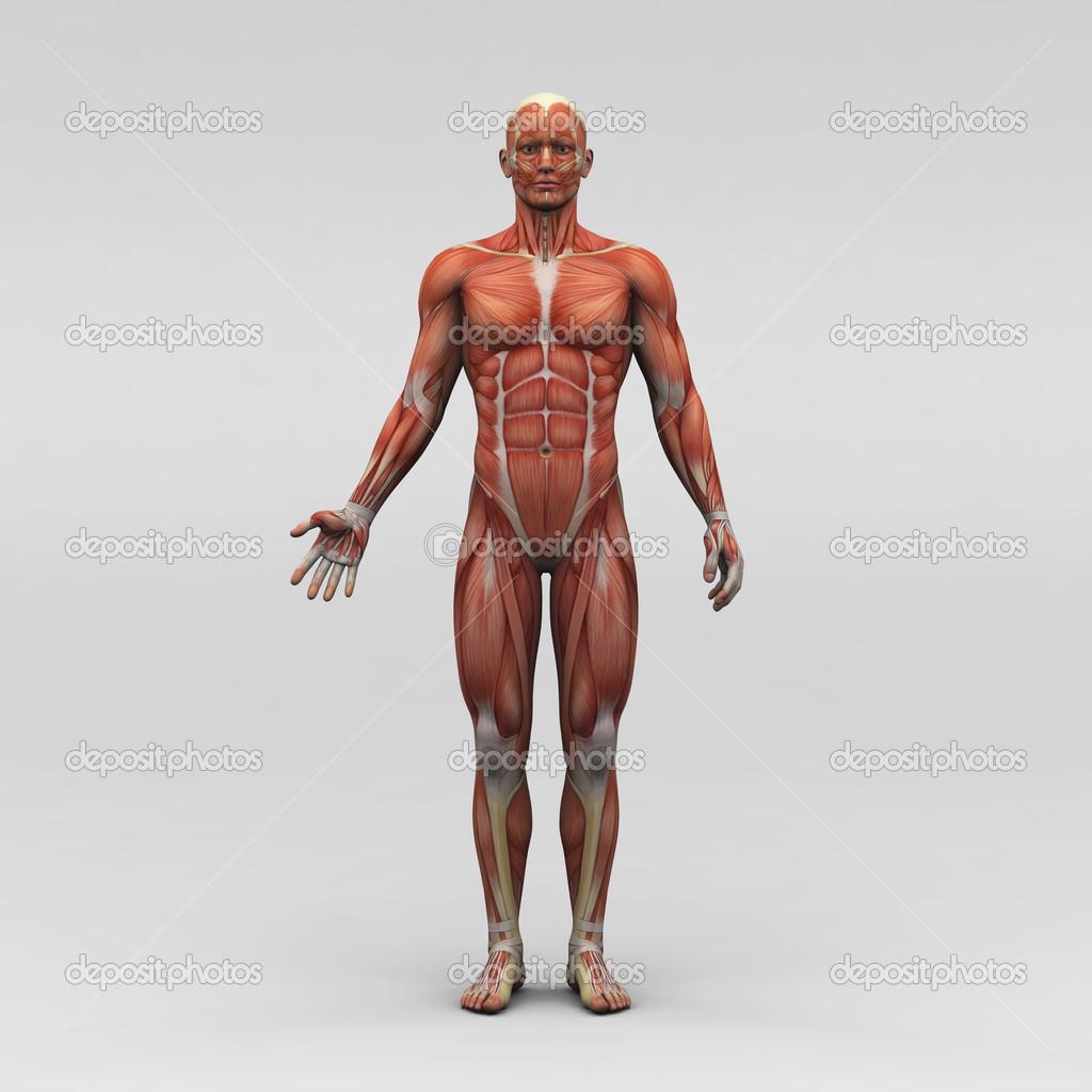 Férfi emberi anatómia és az izmok — Stock Fotó © newartgraphics ... 4e311c2c37