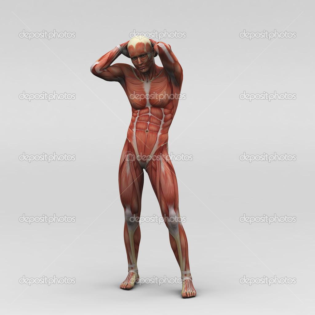 Male Human Anatomy And Muscles Stock Photo Newartgraphics 19871055