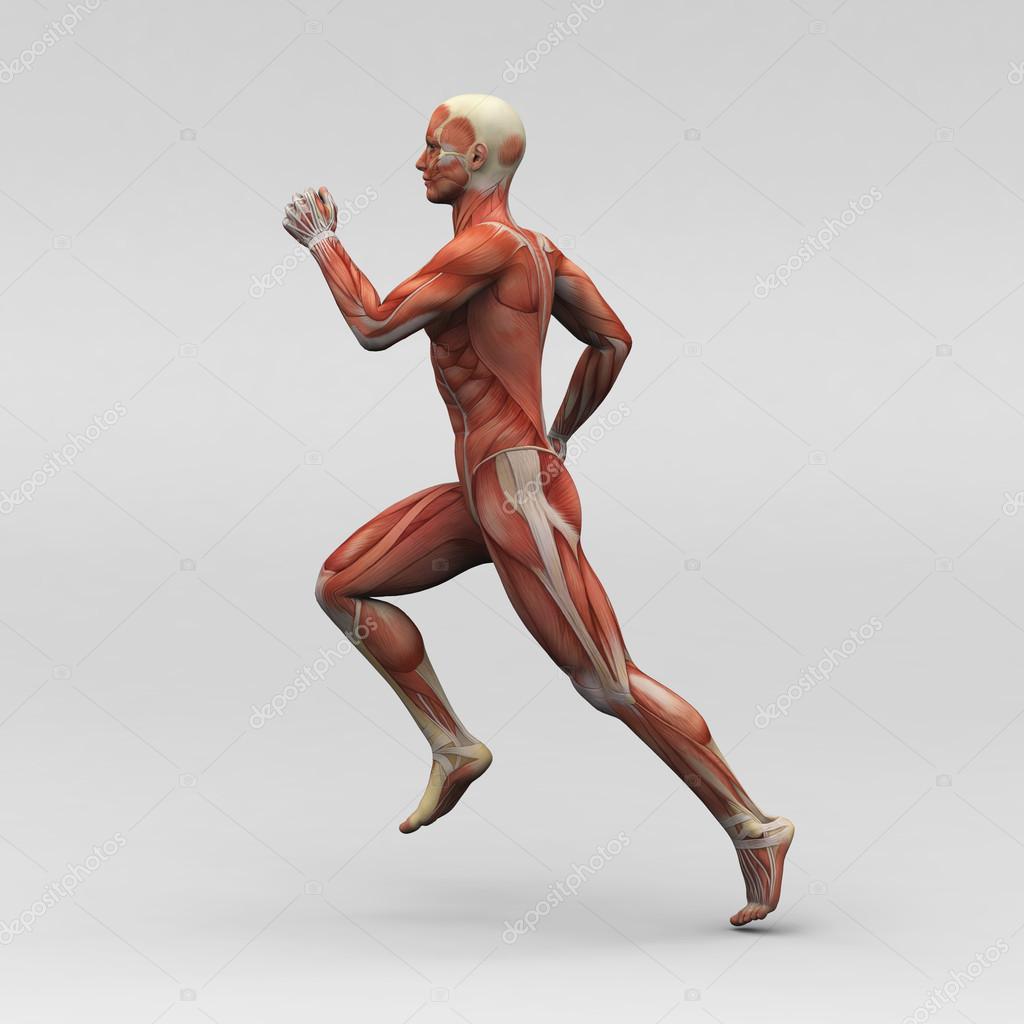 músculos y anatomía humana masculina — Fotos de Stock ...