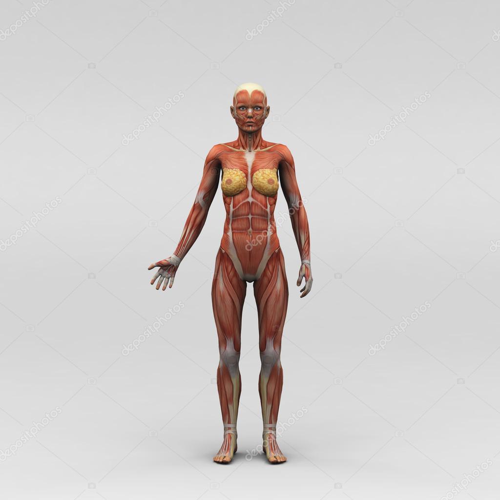 músculos y anatomía femenina — Foto de stock © newartgraphics #19872197
