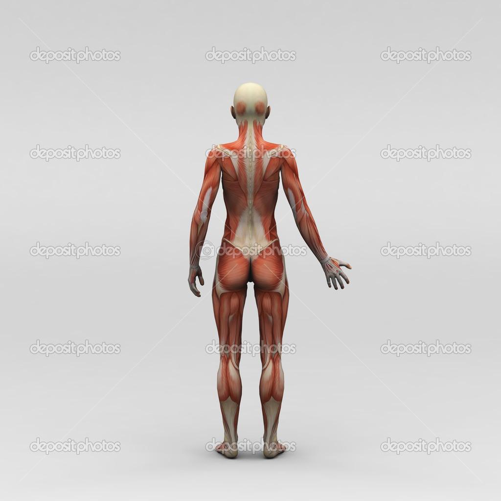 weibliche Anatomie und Muskeln — Stockfoto © newartgraphics #19872213
