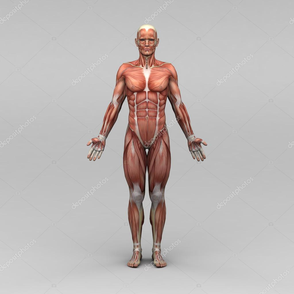 Male human anatomy and muscles — Stock Photo