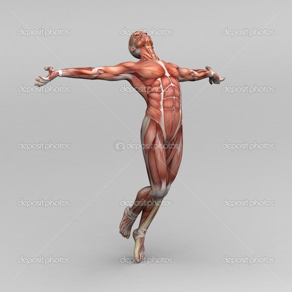 Male Human Anatomy And Muscles Stock Photo Newartgraphics 19872389
