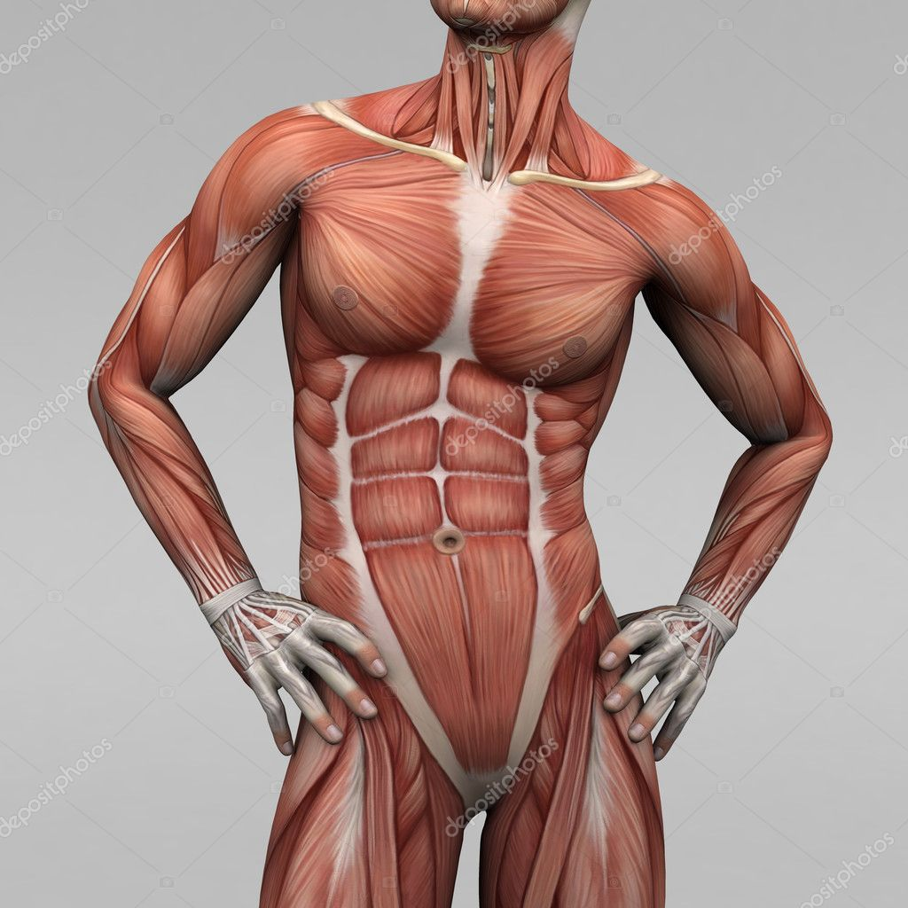Male Human Anatomy And Muscles Stock Photo Newartgraphics 19872483