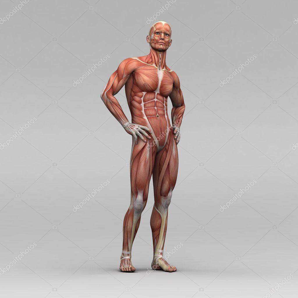 Male human anatomy and muscles — Stock Photo © newartgraphics #19872509