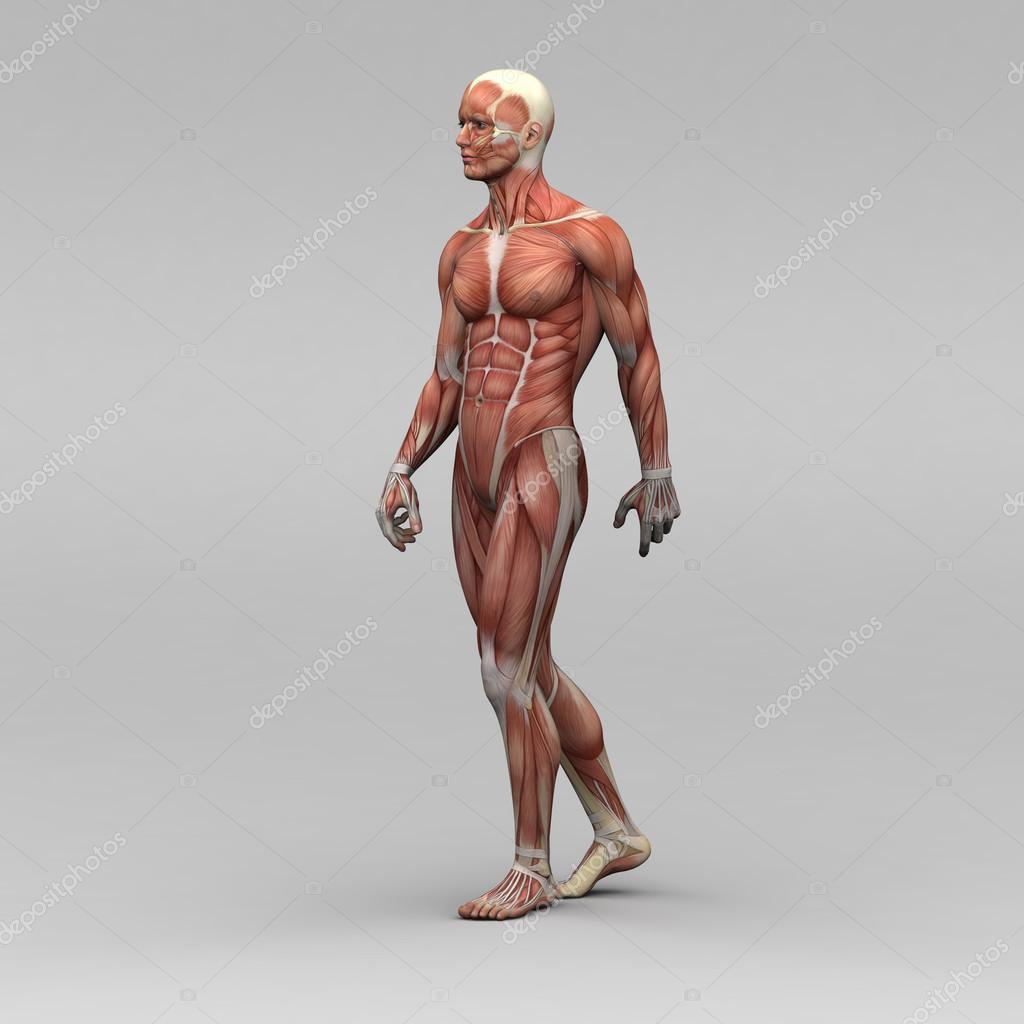 Male Human Anatomy And Muscles Stock Photo Newartgraphics 19872609