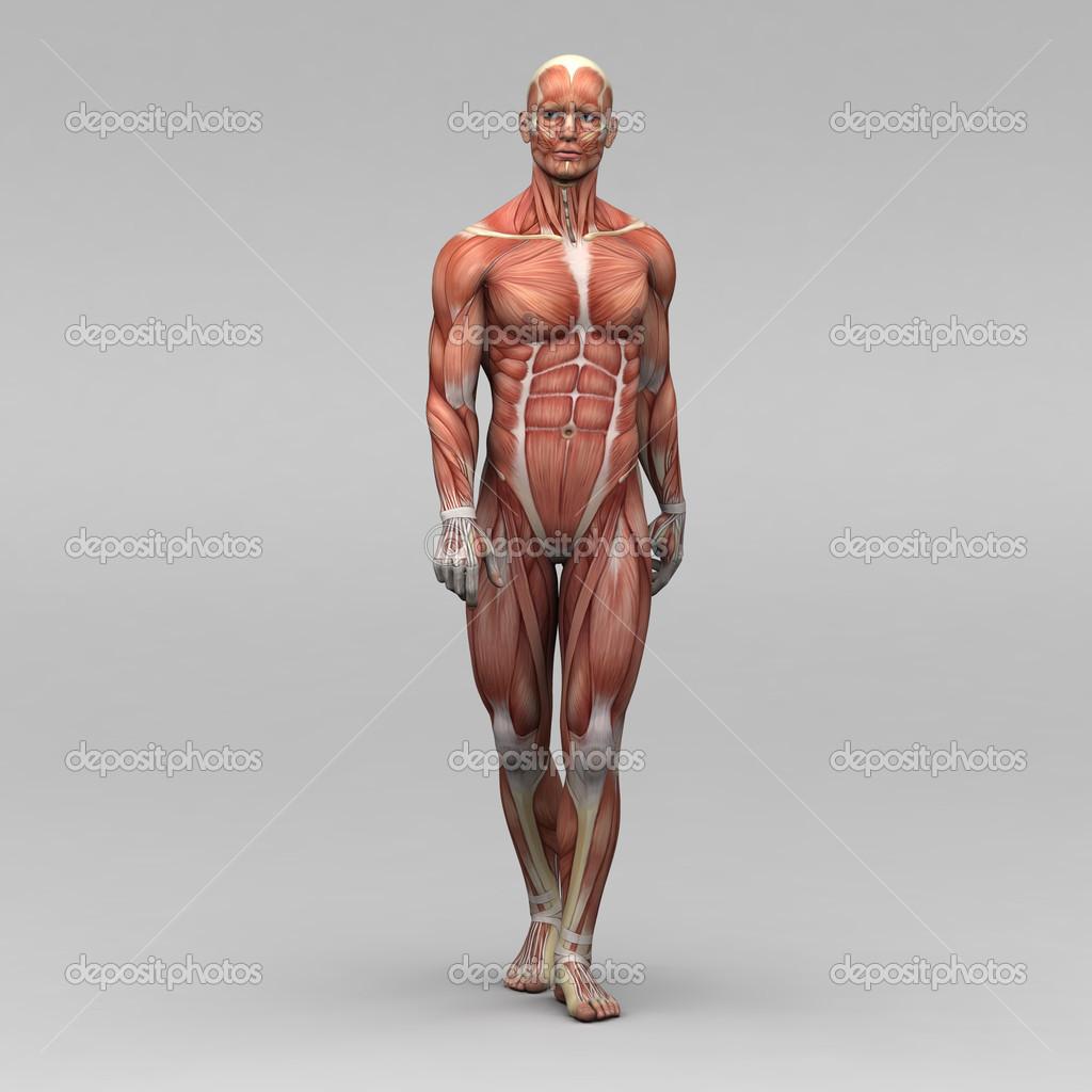 músculos y anatomía humana masculina — Foto de stock ...